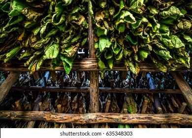 Tobacco Plants in a drying hut Vinales, Cuba
