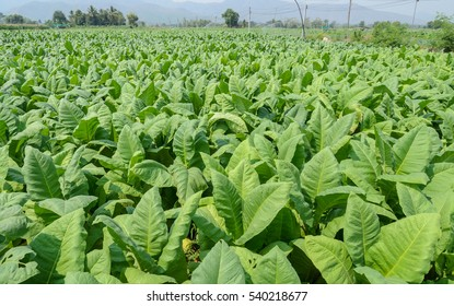Tobacco plants growing in a field in Thailand