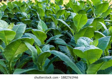 Tobacco plants on Cuban Tobacco-Farm; Tobacco for cigars
