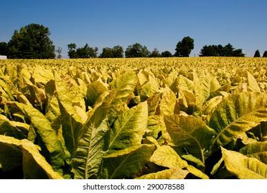 Tobacco plants in Pennsylvania, USA