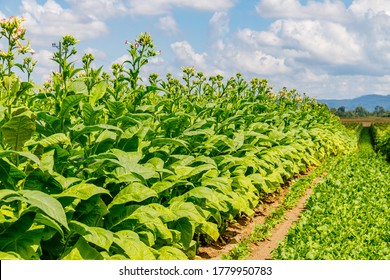Tobacco plants with pink flowers in big Tobacco field. Cultivated tobacco ( Nicotiana tabacum ) plants. Virginia Tobacco leaves, closeup