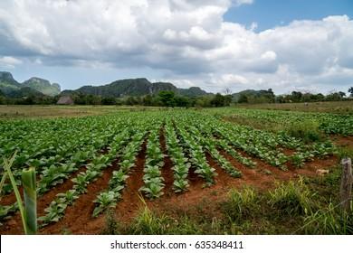 Tobacco Plants in Vinales, Cuba