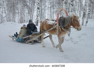 Tobolsk, Russia - January 19, 2017: The horse pulls the sled along the snowy road. Reliable transport to one horsepower. Frost, birch forest, snow, temperature minus 35 C. Siberia.