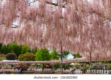Tochigi, Japan 16 April 2018 : View of beautiful full bloom Wisteria blossom trees and multiple kind of flowers in springtime sunny day at Ashikaga Flower Park, Famous travel destination in Japan