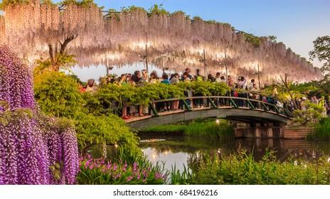 Tochigi, Japan - May 05, 2017: Tourists take pictures on white wisteria trellis bridge at twilight, Ashikaga Flower Park, Tochigi, Japan, Asia. Nature Travel, Natural Beauty, night light illumination.