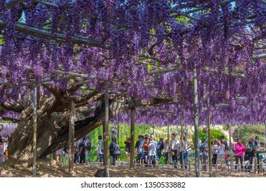 Tochigi prefecture, Japan 16 April 2018 : Beautiful full blooming Purple Giant Double flowered Wisteria blossom trellis. The Great Wisteria Festival in Ashikaga Flower Park, Famous travel destination.