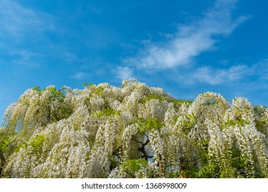 Tochigi prefecture, Japan 16 April 2018 : Beautiful full bloom of white Wisteria blossom trees, flowers tunnel in springtime sunny day at Ashikaga Flower Park, famous travel destination in Japan
