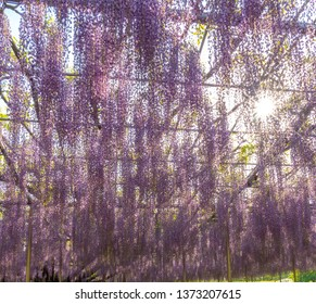 Tochigi prefecture, Japan 16 April 2018 : The Great Wisteria Festival in Ashikaga Flower Park. Beautiful full blooming Purple Giant Miracle Wisteria blossom trellis. Famous travel destination in Japan