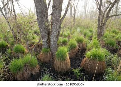 Tocksocks in Kushiro Marshland National Park.