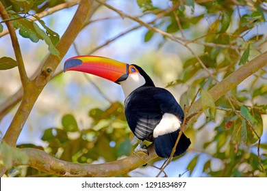 Toco Toucan, Ramphastos Toco, also known as the Common Toucan, Giant Toucan, perching in the trees, Iguazu or Iguacu, Parana, Brazil, South America