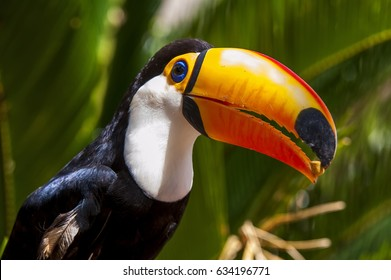 Toco Toucan (Ramphastos toco) is the largest toucan, living throughout central Brazil and parts of the Amazon. The Pantanal has its largest population.