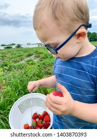 Toddler boy holding strawberry at the pick your own strawberries farm. Wears eyeglasses.