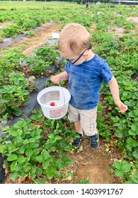 Toddler boy is looking at the strawberries in a basket in a strawberry field. Wears eyeglasses