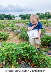 Toddler boy looking at strawberries at pick your own strawberries farm. Holding busked. Wears eyeglasses.