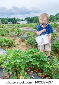 Toddler boy picking strawberries. Holding bucket. Looking down. Wears glasses.