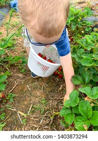 Toddler boy picking strawberries at the pick your own strawberries farm