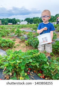 Toddler boy at the strawberry farm. Picking strawberries, holding basket