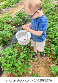 Toddler boys in looking into basket with strawberries. Wears glasses. Pick your own strawberries farm.