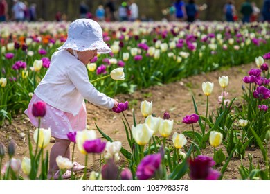 A toddler in a tulip farm is holding a yellow tulip in left hand and playing with a purple flower with right hand