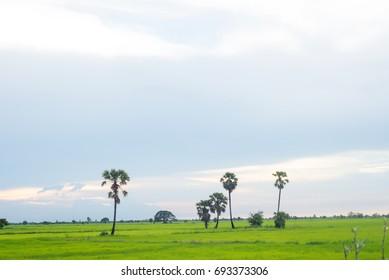 toddy palm,farm,cornfield