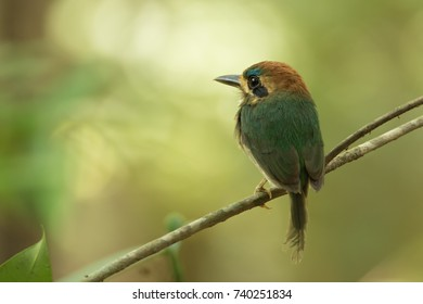 Tody Motmot, Hylomanes momotula. Panama.  is a charismatic,  little motmot of Central American lowland and hill forest.