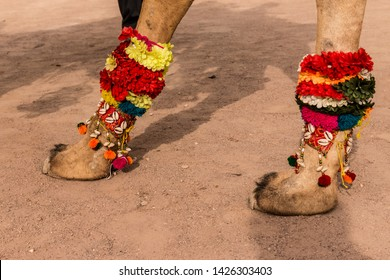 Toe of camel being decorated in Camel festival : Bikaner, Rajasthan/India - Jan 2019