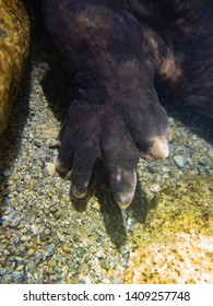 Toes and Foot of Japanese Giant Salamander Underwater in Japan