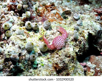 Togean Island, Sulawesi, Indonesia - nov 2009 : A small and colorful porcelain crab feeds among small white-green ascidians in the seas of Sulawesi