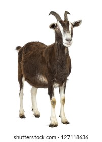 Toggenburg goat looking away against white background