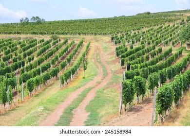 Tokaj, Hungary - wine growing region. Vineyard in summer.