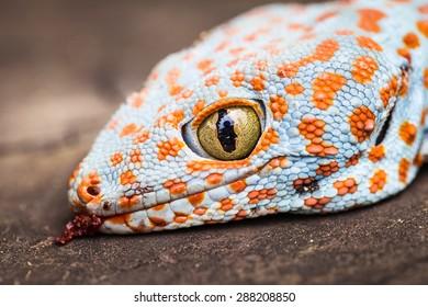 tokay gecko images stock photos vectors shutterstock