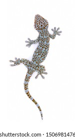 Tokay, Gecko, Calling gecko isolated on a white background.