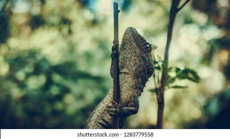 Tokay gecko climbs into a tiny tree branch. The tokay gecko (Gekko gecko) is a nocturnal arboreal gecko in the genus Gekko.