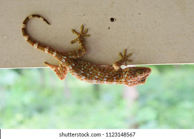 Tokay gecko with curved tail on gray wall , Many orange color dots spread on blue skin of Gekko gecko , Reptiles in the homes of the tropics