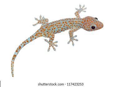 Tokay gecko - Gekko gecko isolated on white background with path