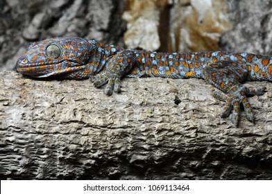 A Tokay Gecko (Gekko gecko) laid on a brach in it's vivarium
