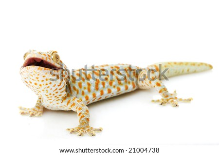 tokay gecko gekko gecko on white stock photo edit now 21004738