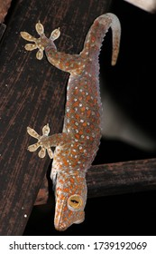 Tokay gecko is a large gecko, reaching a total length (including tail) of up to 30 cm.This species occurs in northeast India, Bhutan, Nepal, and Bangladesh, throughout Southeast Asia.