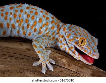 A tokay gecko is opening his mouth in a threatening gesture.