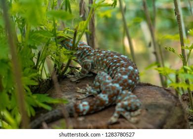 Tokay gecko resting. The tokay gecko (Gekko gecko) is a nocturnal arboreal gecko in the genus Gekko.