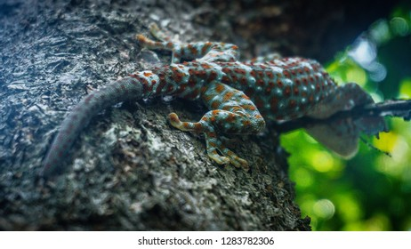 Tokay gecko sticking into a tree. The tokay gecko (Gekko gecko) is a nocturnal arboreal gecko in the genus Gekko.