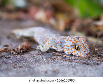 Tokay gecko sticks in a tree. The tokay gecko (Gekko gecko) is a nocturnal arboreal gecko in the genus Gekko.