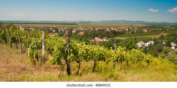 Tokay vineyard
