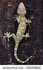 Tokek lizard camouflage on wood, animal closeup, tokek lizard