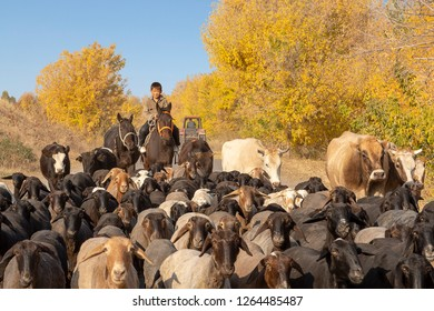 TOKMOK, KYRGYZSTAN - OCTOBER 15, 2017: Kyrgyzy herder with his sheep and cattle, in Tokmok, Kyrgyzstan.