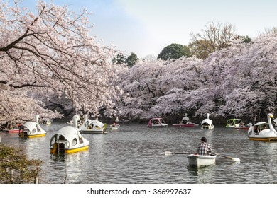 TOKYO - APRIL 1: Visitors ride the swan boat on the Inokashira pond on April 1 , 2015 in Tokyo. Inokashira park is a very famous and popular Cherry-blossom(Sakura) viewing spot in Tokyo.