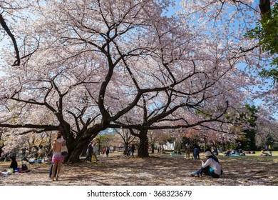 TOKYO - APRIL 2: Visitors in Shinjuku Gyoen national garden on April 2 , 2015 in Tokyo. This park is a very famous and popular Cherry-blossom(Sakura) viewing spot in Tokyo.