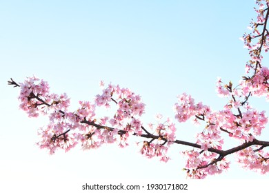 Tokyo cherry blossoms in spring