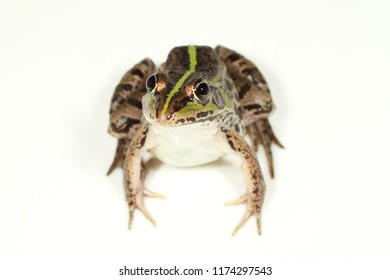 tokyo daruma pond frog in the white background