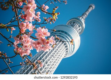 TOKYO - FEBRUARY 16, 2018: Tokyo Skytree with cherry blossoms in full bloom on February 16, 2018 in Tokyo, Japan. Tokyo Skytree is a broadcasting and observation tower in Sumida,